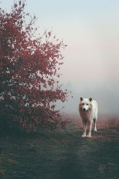 A Haunting Picture of a White Wolf Shrouded in Fog. The underlying magic has made it's effects known through natures wolf and fog. #wolf #magic #fantasy