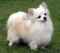 Lovely hairy Chihuahua. You can check the post at animalseverywhereallaround.blogspot.com.es White Chihuahua, Chihuahua Love, Pomeranian Chihuahua, White Pomeranian, Long Haired Chihuahua Puppies, Yorkie Puppies, Cute Puppies, Cute Dogs, Dogs And Puppies