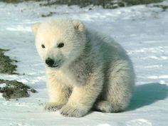 Wee polar bear cub