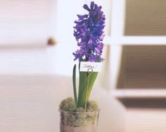 Hyacinth Party Favours