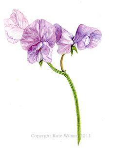 sweet peas botanical - Google Search