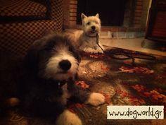 West Highland - Dog training Dog Training, Dogs, Animals, Animales, Animaux, Dog Training School, Pet Dogs, Doggies, Animal