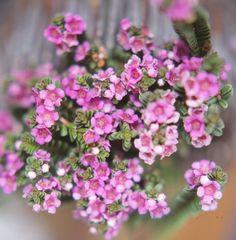 """Thryptomene Baeckeacea - """"Pink Cascade"""" (low form)"""