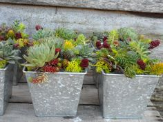 Gloriosum Sempervivum Plant, Hens and Chicks, Extremely Cold Hardy Succulent. $4.69, via Etsy.