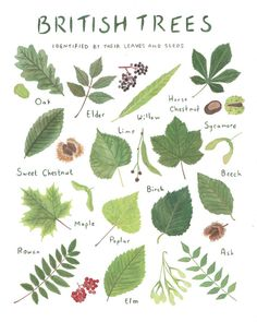 Items similar to British Trees Identified by their Leaves and Seeds - 8 x 10 Print - Nature Lovers Gift on Etsy Leave In, Tree Illustration, Botanical Illustration, Illustrations, Tree Leaves, Plant Leaves, Tree Leaf Identification, Logo Fleur, Forest School Activities