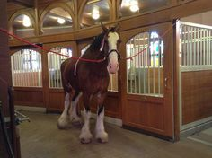 Budweiser Clydesdale  Best part about touring the brewery!! Getting to love on all the horses!!!