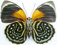 Ornithoptera Victoriae Related Keywords & Suggestions ...