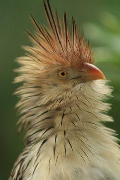 Cuckold Bird : cuckold, Ideas, Period, Outfit,, Medical, Astrology,, Michel, Gondry