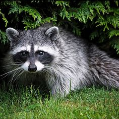 Google Image Result for http://www.treatment4addiction.com/blog/wp-content/uploads/raccoon.jpg