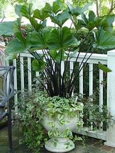 Buy Colocasia Esculenta Tea Cup Plants, For Sale Online, How to grow & care for.