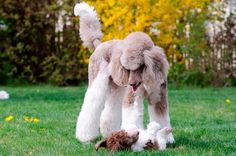 Are you ready to give up? Poodle war.