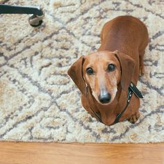 noodle the dachshund