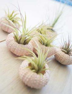 Maceta para cactus en concha de erizo de mar