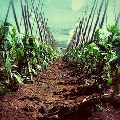 Alimento para el mundo #Agronomia #Horticultura