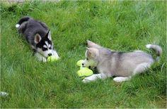 Criadero perros Cali venta de cachorros cali perros y gatos ...