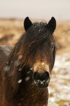 Exmoor pony. Wild horse cheval sauvage