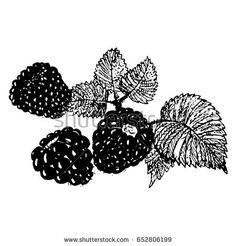 Ink blackberries, raspberries hand drawn vector illustration realistic sketch