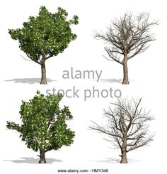 Stock Photo - Sycamore trees, isolated on white background Pop Up, Trees, Stock Photos, Illustration, Popup, Tree Structure, Illustrations, Wood