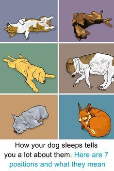 Here's what it means when your dog sleeps in these positions. This is what ie means when your dog sleeps in certain positions! The way your dog sleeps tells you a lot about them. Dog Sleeping Positions, Sleeping Puppies, Chien Goldendoodle, Labradoodle, Funny Dogs, Cute Dogs, Animals And Pets, Cute Animals, Exotic Animals