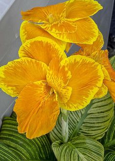 Canna ~~~I had bought a bunch of these bulbs when they first came on the market and had 3 different colors.  Unfortunately, I opened the shipping box and set it on the side porch where my dear husband caught the trash men just in time to throw this box out!!!  There were only 8 or so rizomes so it didn't weigh a bunch but he didn't even look in it first!  He doesn't do that anymore!! But somewhere some dump has been improved!