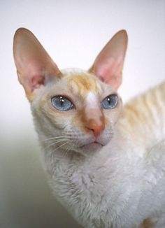 cornish rex cat - The Cornish Rex requires more upkeep than the Devon because they require frequent baths to mitigate the oil buildup on their skin. http://www.petfinder.com/cats/living-with-your-cat/cats-for-allergy-sufferers/