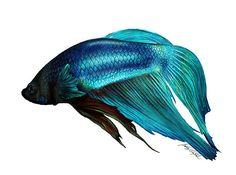 pics of watercolor fish for kids | Brittany LeBold › Portfolio › Betta Fish Digital Painting