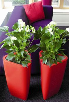 Red Trifik planters, planted with white anthurium flowering plants