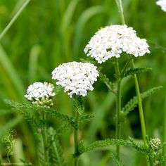 Neues zur Schafgarbe Garden Living, Home And Garden, Achillea Millefolium, Edible Wild Plants, Herbal Medicine, Trees To Plant, Wild Flowers, Herbalism, Dandelion