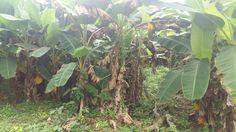 PLANTAIN FOR SALE Farming, Four Square, Backyard, Plants, Patio, Backyards, Plant, Planets