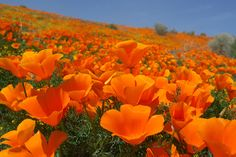 6 Earth Day Activities You Didn't Think Of  #refinery29  http://www.refinery29.com/2014/04/66518/earth-day-events-2014#slide1  California Poppy Festival  Celebrate our vibrant state flower in all its springtime glory at the California Poppy Festival. Meant to double as an Earth Day bash, the festival boasts tons of things to do all weekend long. On tap are 50 different music and dance performances, a farmers' market and beer pavilion, art vendors, healthy-living workshops, plenty of food…