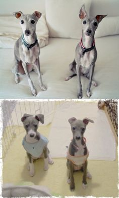 'Hisui' and her brother 'Who' * Italian greyhound