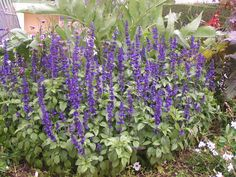 salvia farinacea  | SALVIA FARINACEA