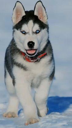 Husky Dog Names, Cute Husky Puppies, Super Cute Puppies, Cute Baby Dogs, Husky Puppy, Adorable Puppies, Cute Pets, Huskies Puppies, Baby Huskies