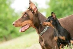 Just what my husband wants.  A Doberman and a little min pin