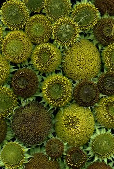54675-01 Helianthus annuus | by horticultural art