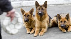 This owner has these shepherds' undivided attention because he is holding what they WANT