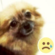 my little gloomy pomenarian pixy