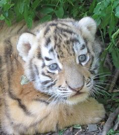 Name this tigress cub & raise money for wild tiger conservation! http://www.ebay.co.uk/itm/Name-our-Female-Amur-Tiger-Cub-/271261069819?pt=LH_DefaultDomain_3=item3f286b71fb