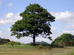 Sycamore tree, Ireland