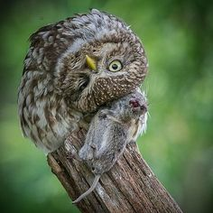 Yeah Yeah I know... Poor little mouse  but honestly!!! Doesn't the owl look way to cute  European little owl
