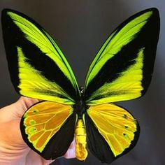 Goliath birdwing butterfly