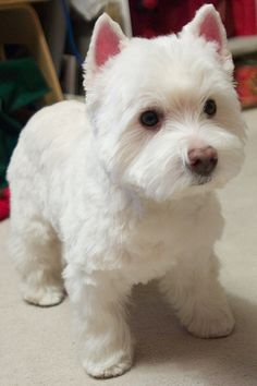 westie in groom costume - Google Search