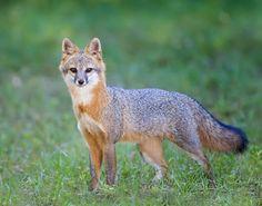 Florida Grey Fox