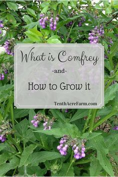 Comfrey is a perennial herb with beautiful, bell-shaped flowers and large leaves. Here is why comfrey is making its way into every permaculture garden and how you can take advantage of it. Healing Herbs, Medicinal Plants, Herb Plants, Organic Gardening, Gardening Tips, Container Gardening, Vegetable Gardening, Kitchen Gardening, Gardening Quotes