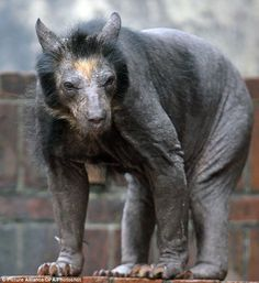 who knew that's what a bear would look like without hair...All the female bears in a Leipzig zoo have lost their hair