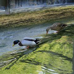 Patos en el río Júcar