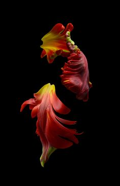 Glass Photography, Object Photography, Floral Photography, Types Of Flowers, Red Flowers, Beautiful Flowers, Color Schemes Colour Palettes, Parrot Tulips, Beautiful Flower Arrangements