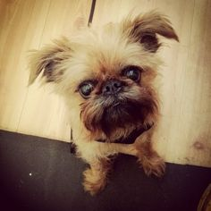 Twitter / NoeValleyPetCo: The cutest Brussels Griffon ...named Sofia