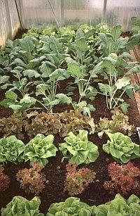 Frühjahrsgemüse im Kleingewächshaus