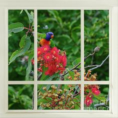 A nature photograph of mine of a Rainbow Lorikeet resting in a gum tree with red gum nut blossoms viewed through a window. #Window of #Nature by #Kaye_Menner #Photography Quality Prints Cards Products with a money-back guarantee at: https://kaye-menner.pixels.com/featured/window-of-nature-by-kaye-menner-kaye-menner.html